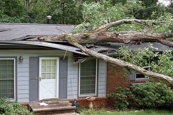 A fallen white oak tree impales a house